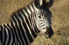 Safari in Zuid-Afrika, op 3 uur rijden van Johannesburg: Kololo Game Reserve | Mooistestedentrips.nl