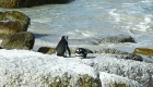 Dagtrip vanuit Kaapstad: pinguïns Boulders Beach | Mooistestedentrips.nl